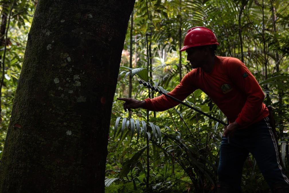 Funcionário da Coomflona trabalha na extração sustentável do óleo de copaíba na Floresta Nacional do Tapajós — Foto: Marcelo Brandt/G1