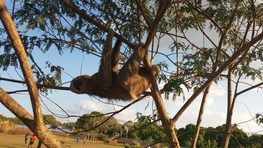 Bicho-preguiça é encontrado em árvore por jogadores de futebol em Porto Velho