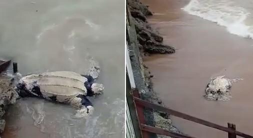 Duas tartarugas são encontradas mortas em praia de Rio das Ostras, no RJ - Notícias - Plantão Diário