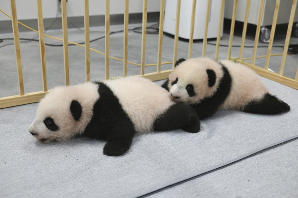 Os filhotes de panda gêmeos Lei Lei (esquerda) e Xiao Xiao, nascidos no Ueno Zoo, de Tóquio, no Japão, em foto divulgada no dia 4 de outubro — Foto: Tokyo Zoological Park Society via AP