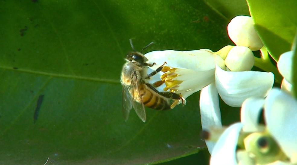 Abelhas auxiliam no ciclo reprodutivo de plantas com o transporte do pólen — Foto: Reprodução/EPTV