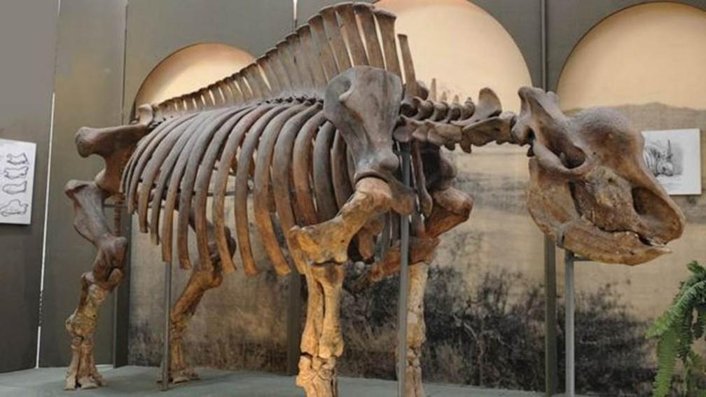 Esqueleto do mamífero no Museu de Stavropol — Foto: Igor Doronin (via BBC)