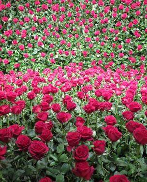 Dicas para aprender a plantar rosas