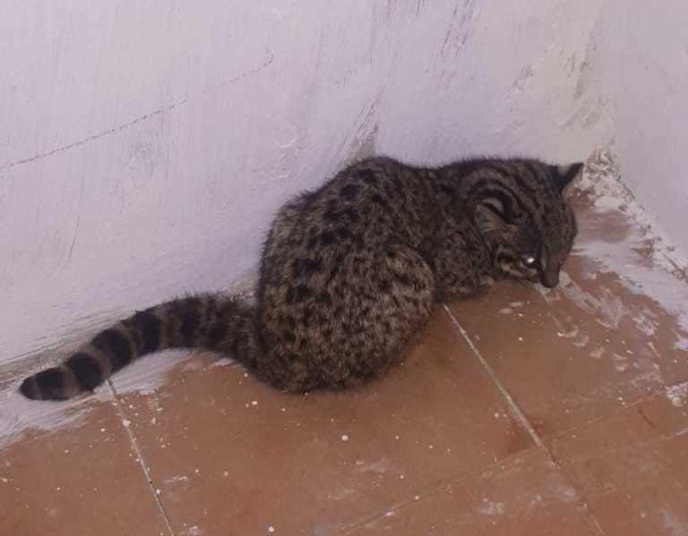 Gato-do-mato é resgatado dentro de casa em Alegrete - Notícias - Plantão Diário