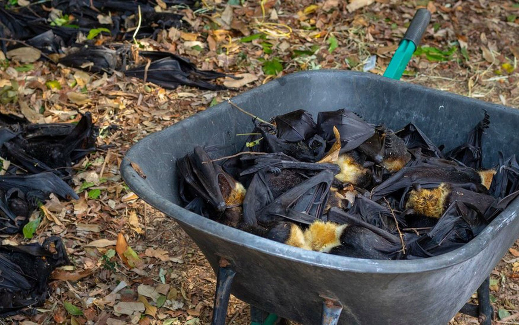 A onda de calor que matou um terço dos morcegos-raposas da Austrália