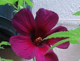 hibisco-vinagreira-flor (Foto: Maria Dezeni)