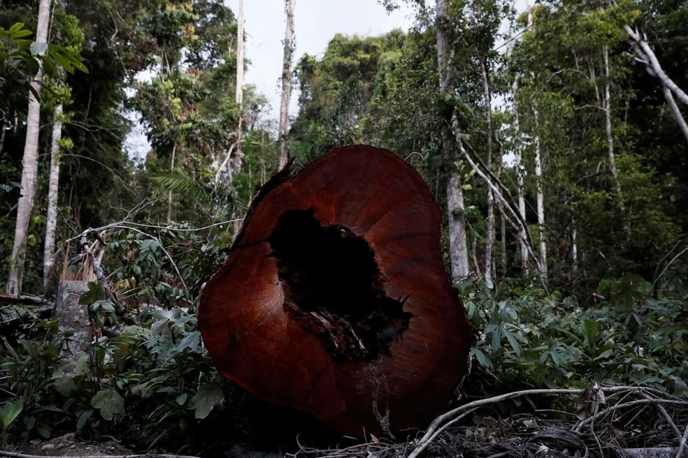 Tronco cortado na floresta amazônica perto de Altamira (PA) em foto de 28 de agosto. — Foto: Nacho Doce/Reuters