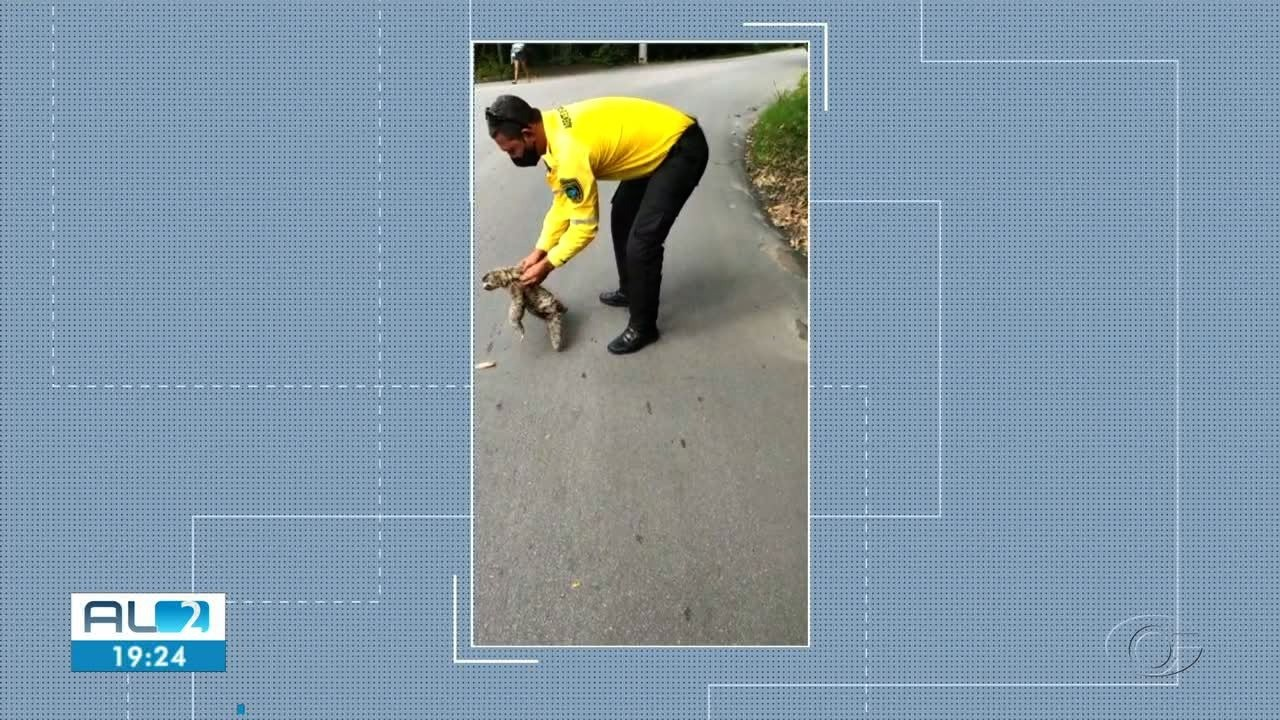 Agentes da SMTT resgatam bicho-preguiça em Bebedouro
