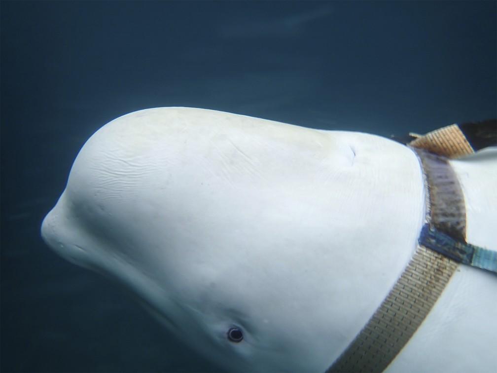Identificação sugere que baleira estava em cativeiro na Rússia — Foto: Joergen Ree Wiig/Norwegian Direcorate of Fisheries Sea Surveillance Unit via AP