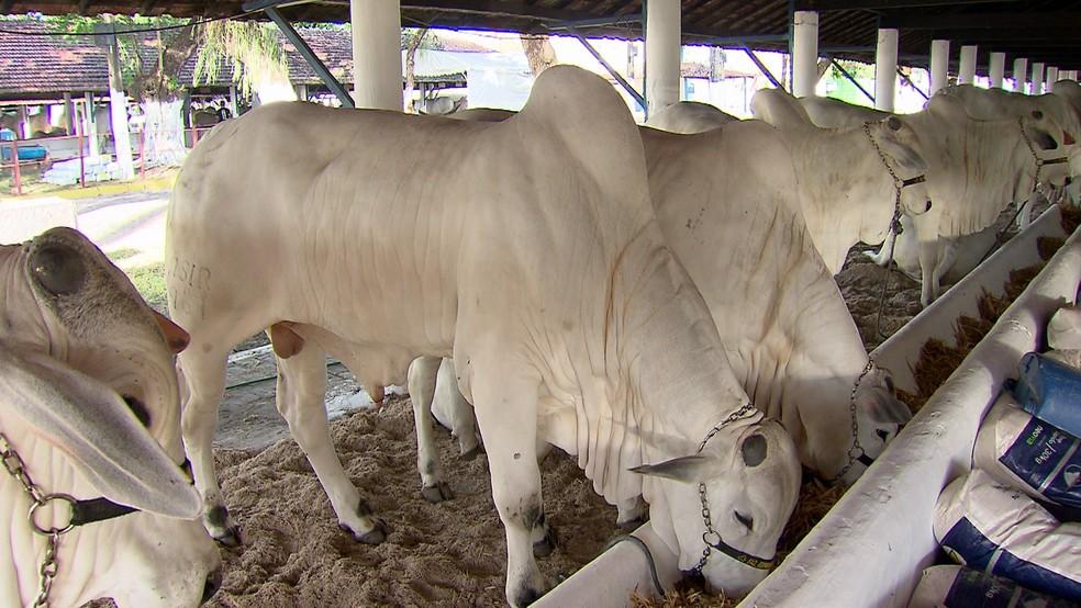 Exposição de Animais chega à 76ª edição reunindo animais de grande porte na Zona Oeste do Recife (Foto: Reprodução/TV Globo)