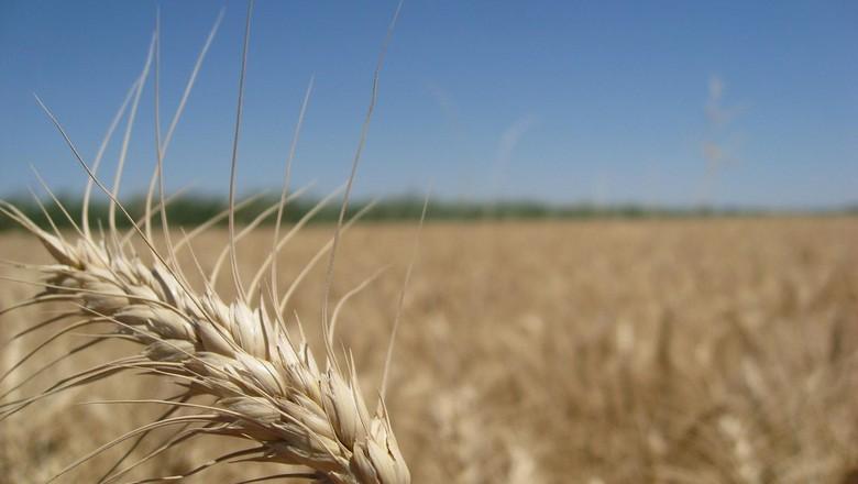 trigo-cereal-plantação (Foto: Xuanxu/CCommons)