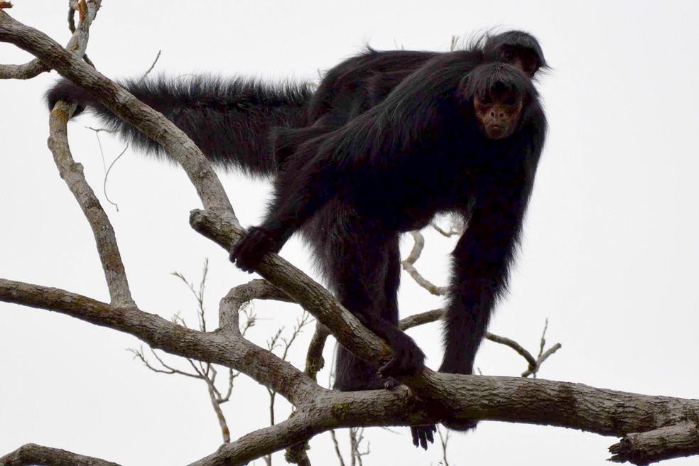 O macaco-aranha vive em grupo e habita em florestas tropicais chuvosas. (Foto: Gustavo Gaspari/VC no TG)