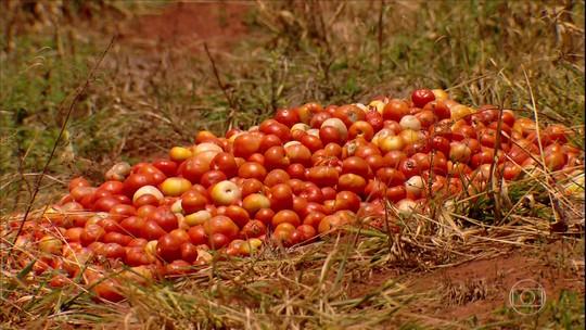 Conheça as realidades dos produtores de tomate em MG