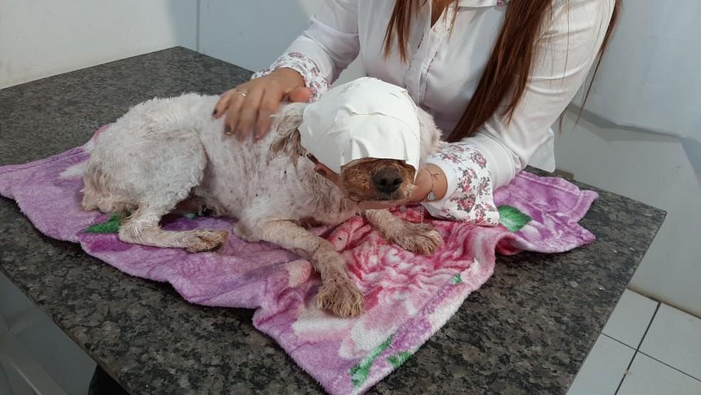 Mulher é presa após ONG denunciar cadela infestada de larvas em Ipaussu