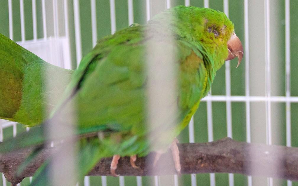 Periquito chegou sem os dois olhos ao Centro de Recuperação de Animais Silvestres — Foto: Deslange Paiva/ G1