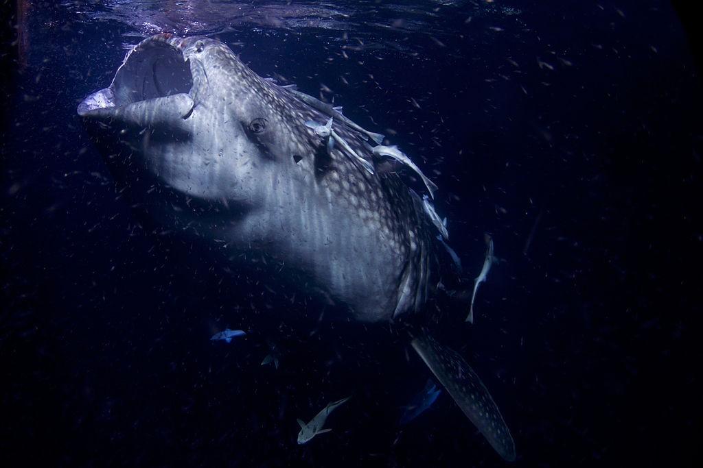 Tubarão-baleia (Foto: Arturo de Frias Marques, via Wikimedia Commons)
