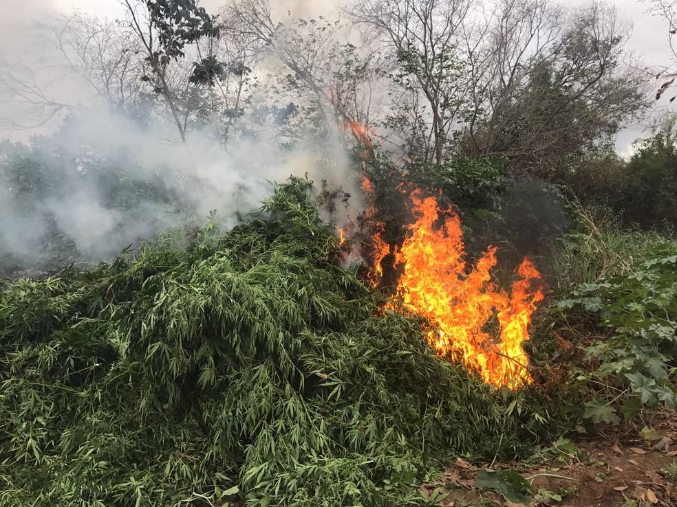 Droga foi incinerada em Abaré, na divisa com Pernambuco (Foto: Divulgação/Secretaria de Segurança Pública)