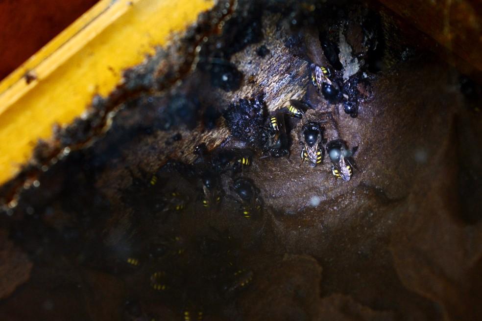 Espécies de abelhas sem ferrão, como a Mandaçaia, são apresentadas aos visitantes da Expoflora — Foto: Mirela Von Zuben/G1