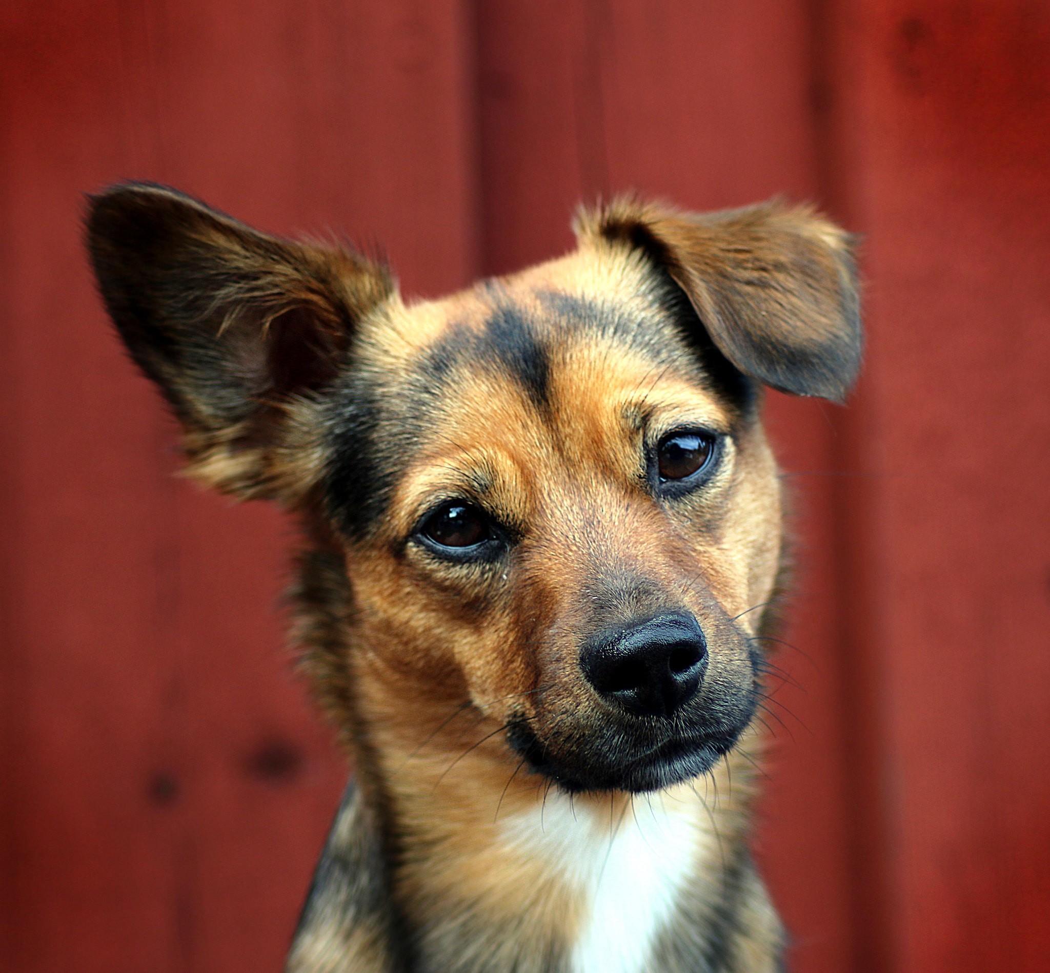Pesquisadores esperam, no futuro, treinar os cães para alertar os donos antes de uma convulsão acontecer  (Foto: Henric Silversnö/ Flickr/ CC)
