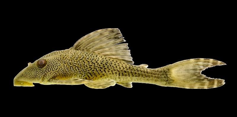 Três novas espécies de peixes na Amazônia e Cerrado descobertas por pesquisadores da Ufopa