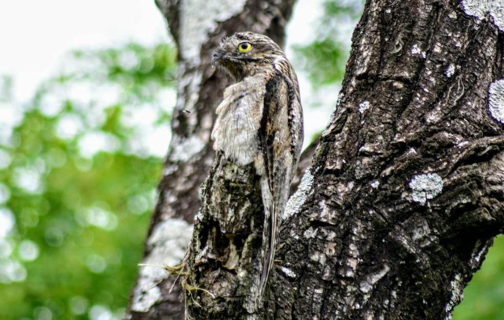 Olho da ave é atrativo para predadores, por isso à noite, por isso durante camufagem ele possui um 'olho mágico' — Foto: César Evaristo/TV TEM
