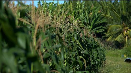 Irrigação possibilita cultivo e boa qualidade do milho em Petrolina, no Sertão de PE