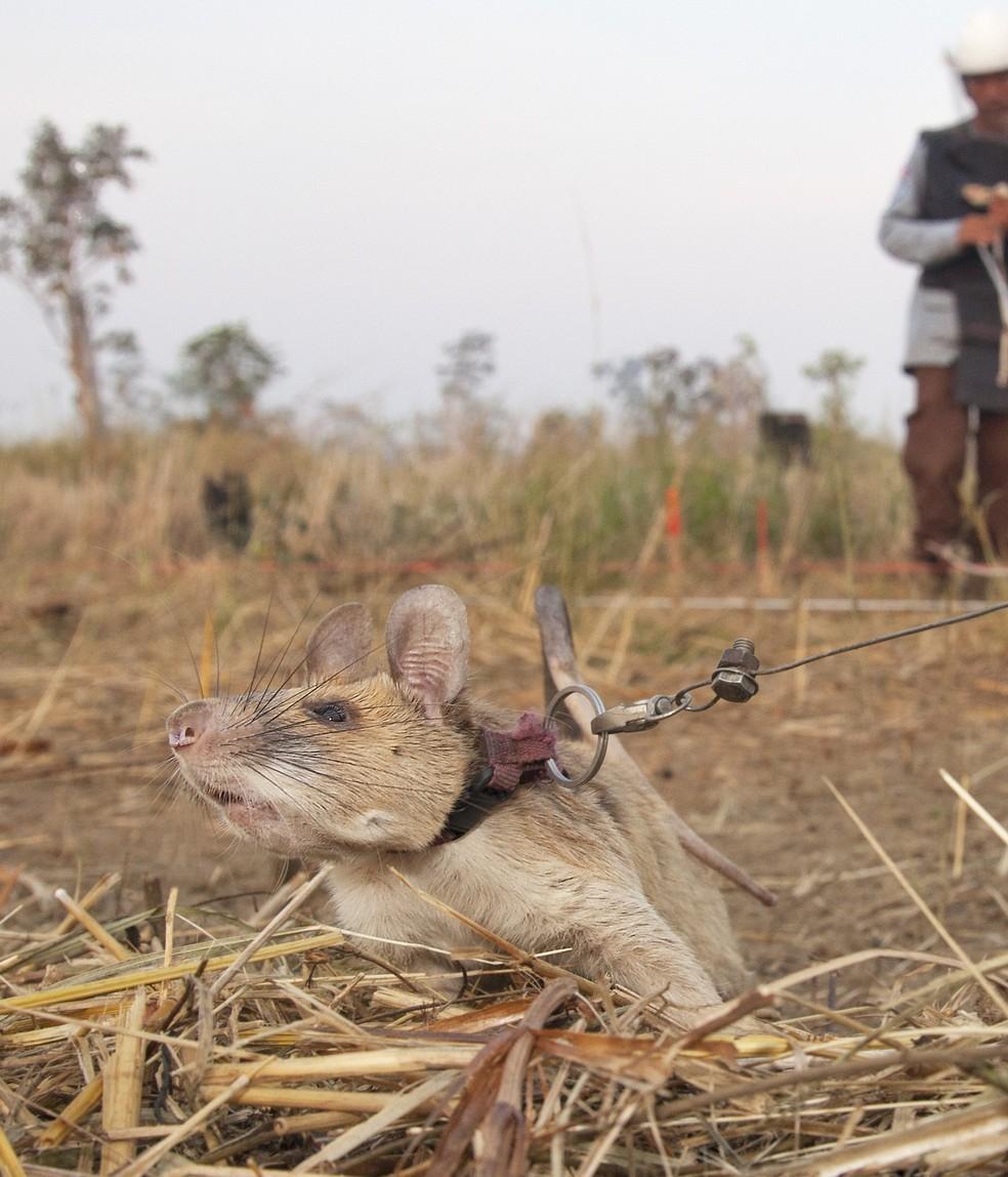 O rato Magawa e visto durante seu trabalho farejando minas terrestres no Camboja. O roedor ganhou o equivalente animal da maior honra civil do Reino Unido por bravura nesta sexta-feira (25) por sua habilidade fantástica de farejar minas terrestres e munições não detonadas        — Foto: Divulgação/PDSA via AFP
