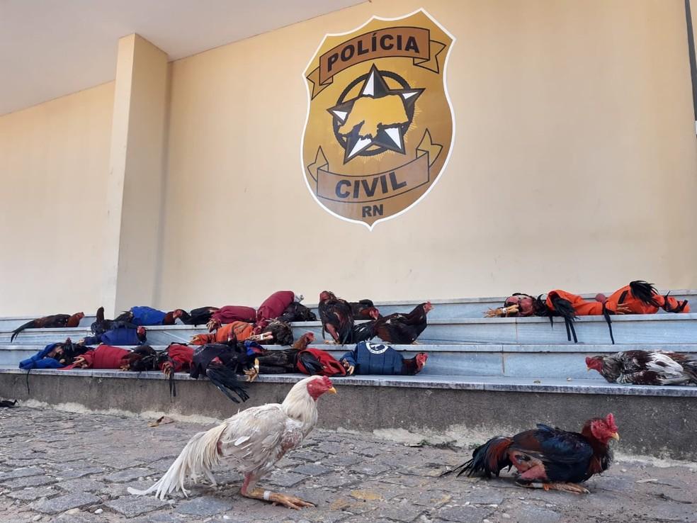 Com sinais de maus tratos, galos são apreendidos pela Polícia Militar — Foto: Lucas Cortez/Inter TV Cabugi