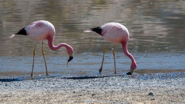 Dizem que os flamingos, que fazem ninho na região, são cada vez menos comuns no salar (Foto: Getty Images via BBC News)