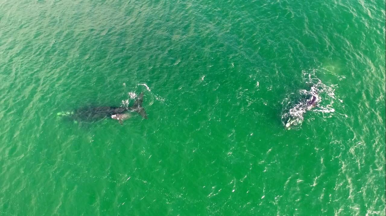 Baleias-francas são avistadas na Praia do Rosa; FOTOS e VÍDEO  - Notícias - Plantão Diário