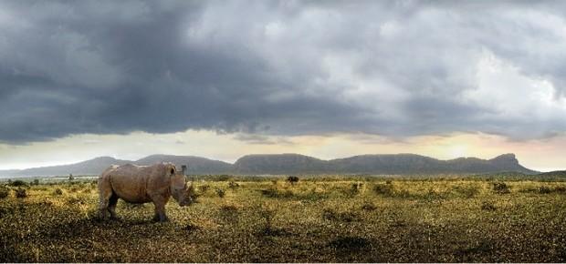 Caçadores de troféus e traficantes de animais selvagens capturam, em média, três rinocerontes por dia  (Foto: Divulgação)