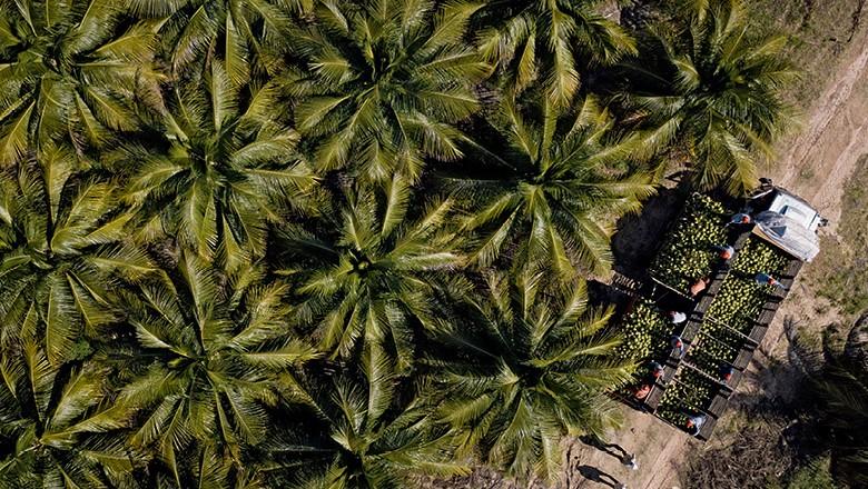 Fazenda Obrigado - Caminhão recolhe os frutos recém-colhidos (Foto: Fernando Martinho)
