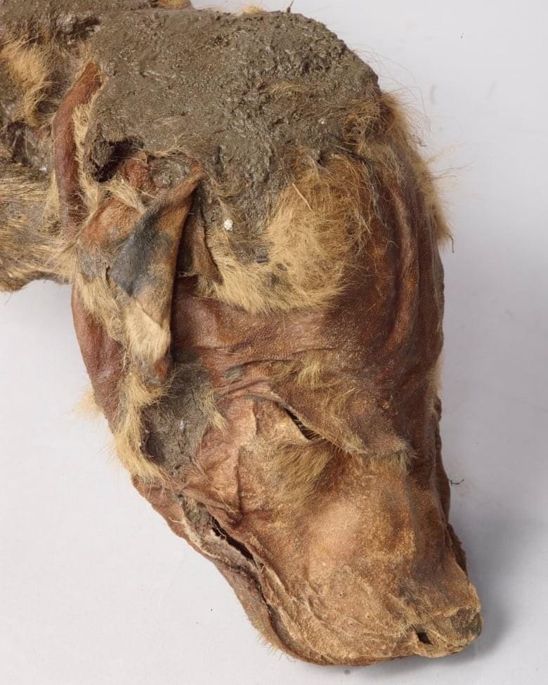 Cabeça do filhote de lobo mumificado (Foto: Governo de Yukon/Divulgação)