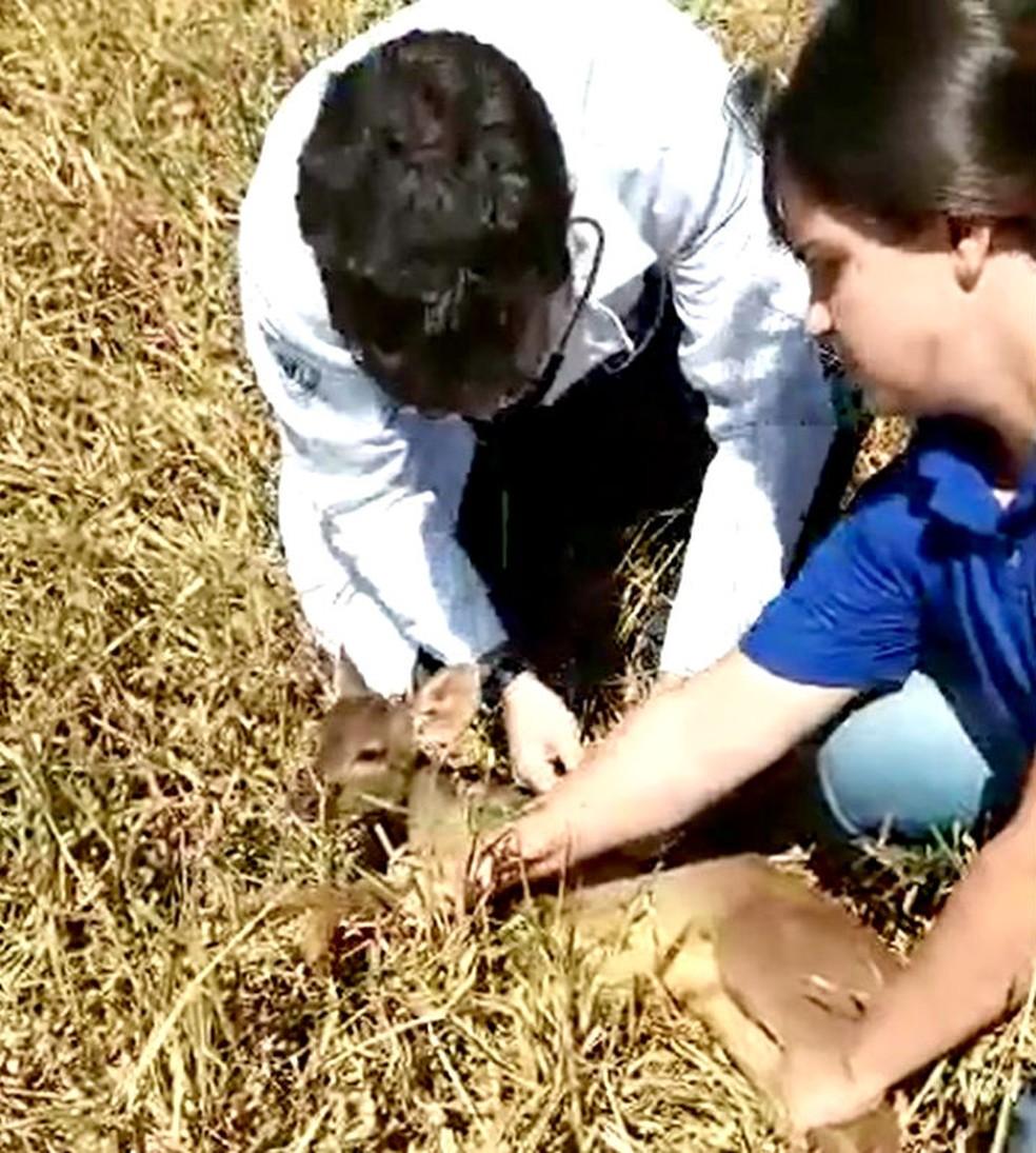 Veterinário examina o animal momentos antes de soltá-lo na natureza (Foto: Divulgação / Corpo de Bombeiros)