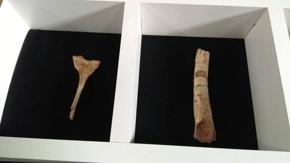 Fósseis do dinossauro encontrados em Cruzeiro do Oeste foram apresentados nesta quarta-feira (26) — Foto: Eduardo Cavalari/RPC