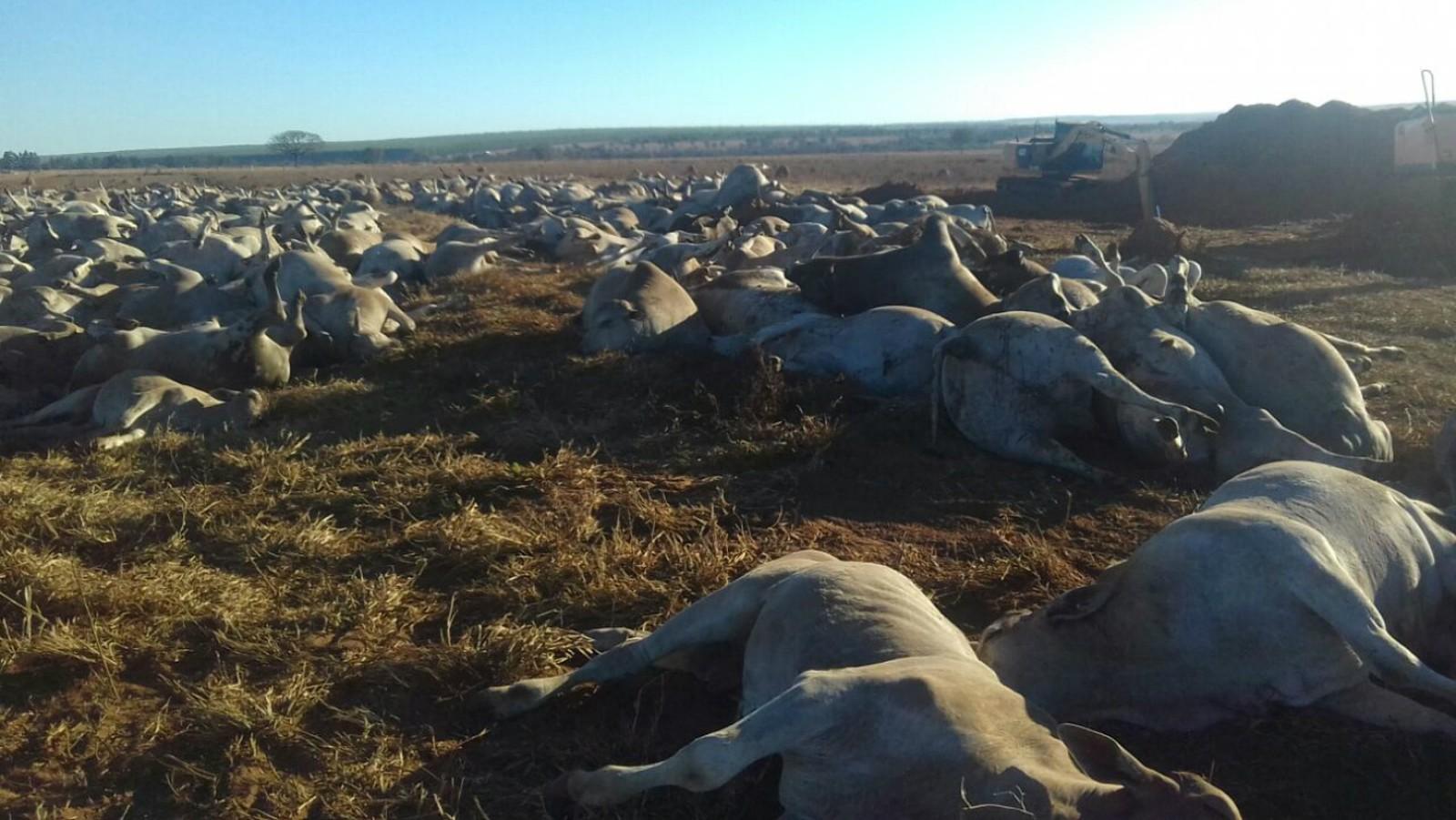 Cerca de 1,1 mil cabeças de gado morrem por suspeita de botulismo em fazenda de MS