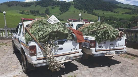 Polícia encontra plantação com 2 mil pés de maconha no interior de MG