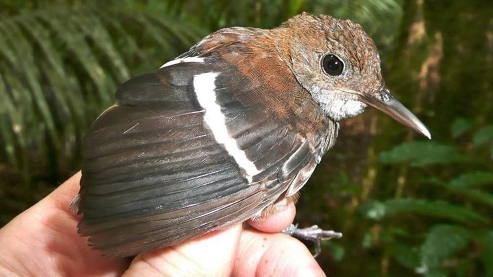 Microcerculus bambla-uirapuru-de-asa-branca também foi uma das espécies com variação na população — Foto: Philip Stouffer/BBC