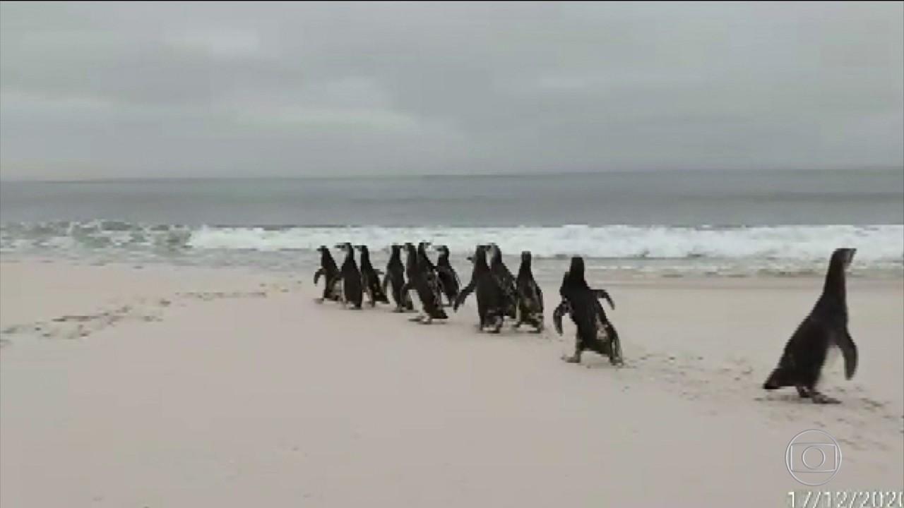 Mais de cinco mil pinguins que migraram para litoral brasileiro voltam para Patagônia