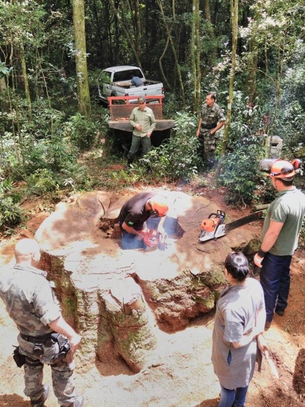 Derrubada ilegal de 17 árvores raras rendeu multa de R$ 12.750 — Foto: Polícia Militar Ambiental de SC