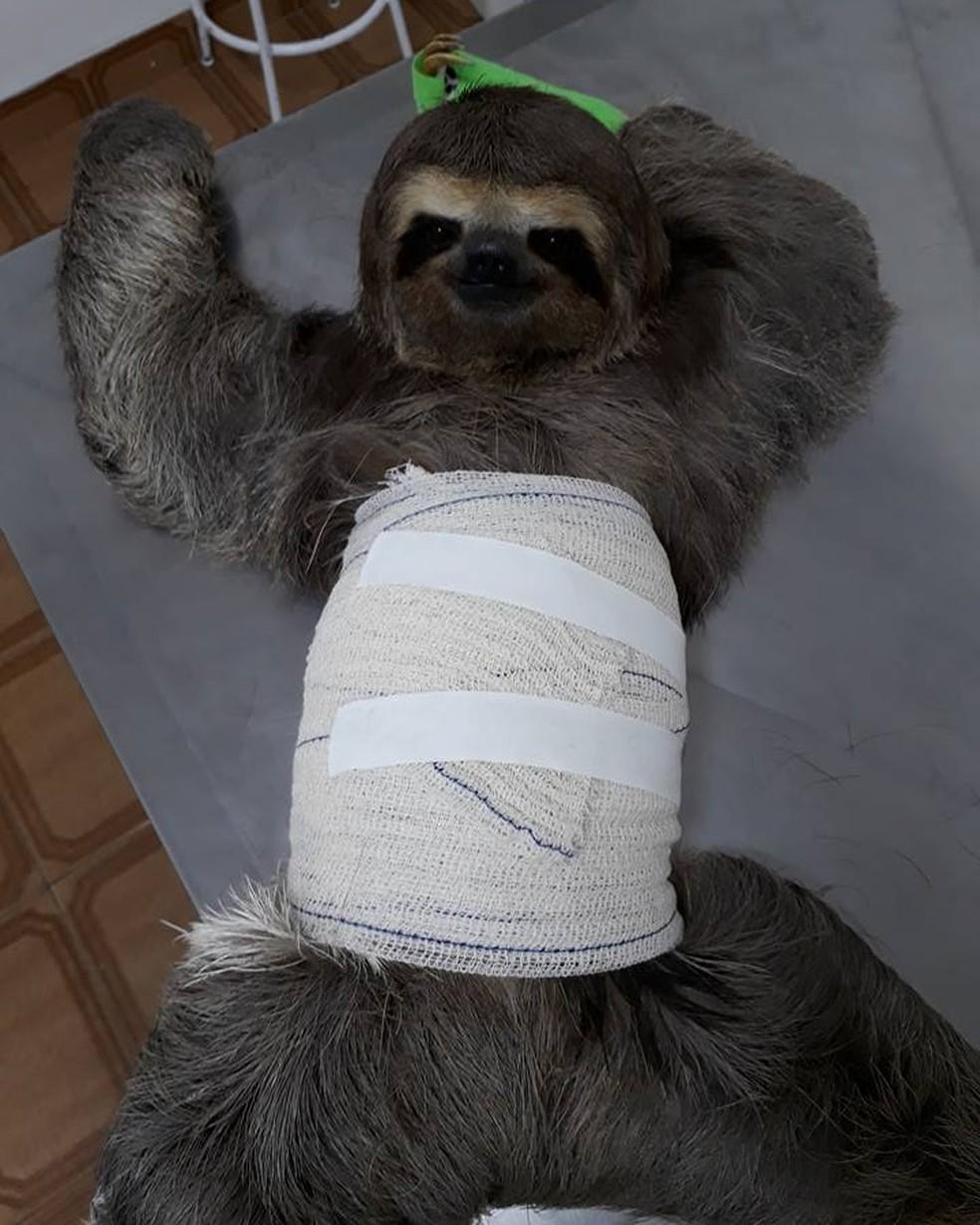 Preguiça encostou em rede elétrica em Guararema e sofreu queimaduras pelo corpo (Foto: Jefferson Leite/ Divulgação)