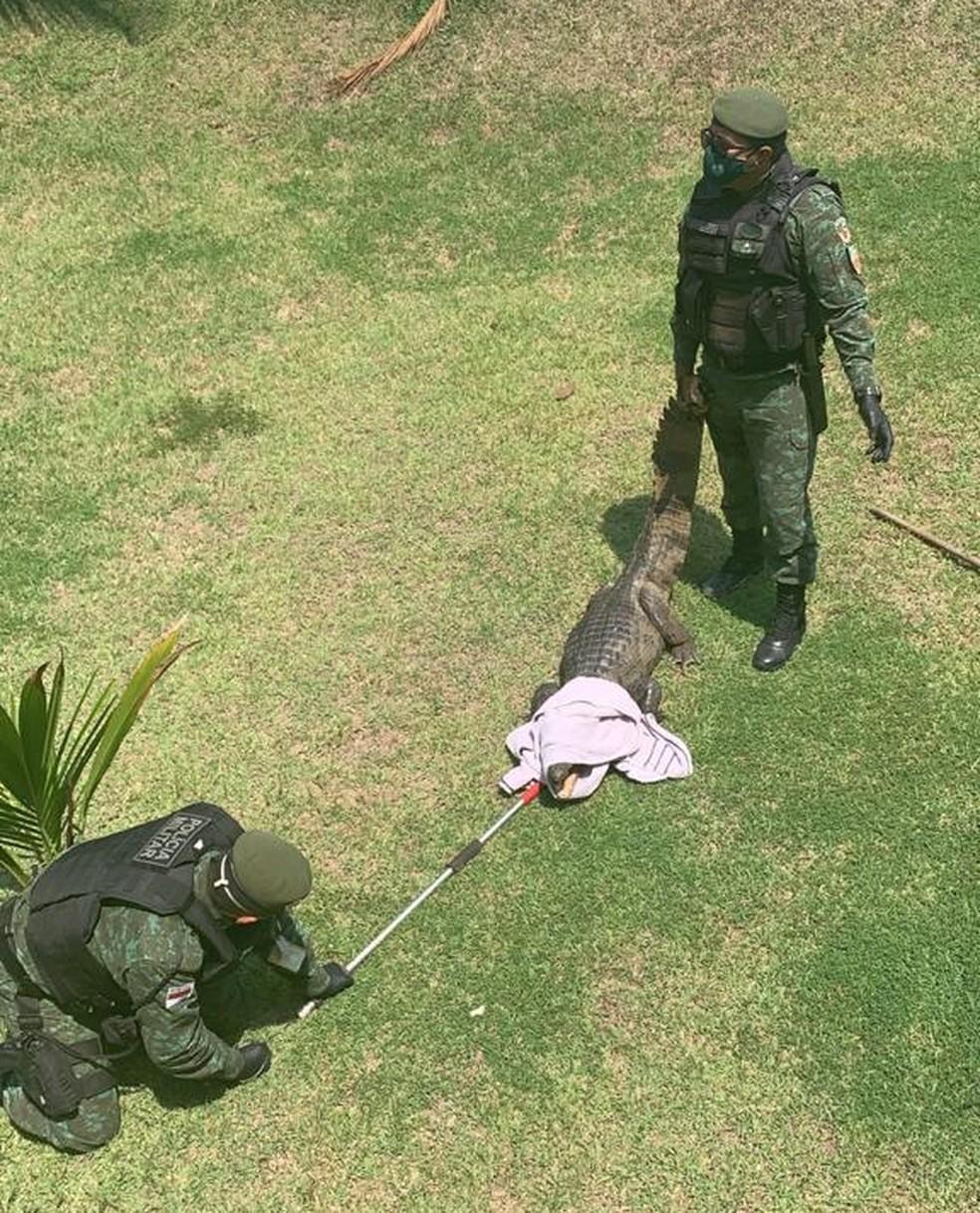Jacaré foi resgatado no sábado (10), em Manaus. — Foto: Divulgação/Batalhão Ambiental