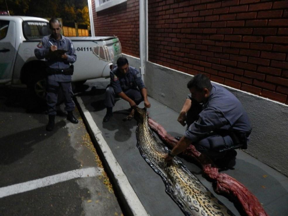 Cobra de 7 metros estava pronta para o consumo em Icém (Foto: Polícia Militar Ambiental/Divulgação)