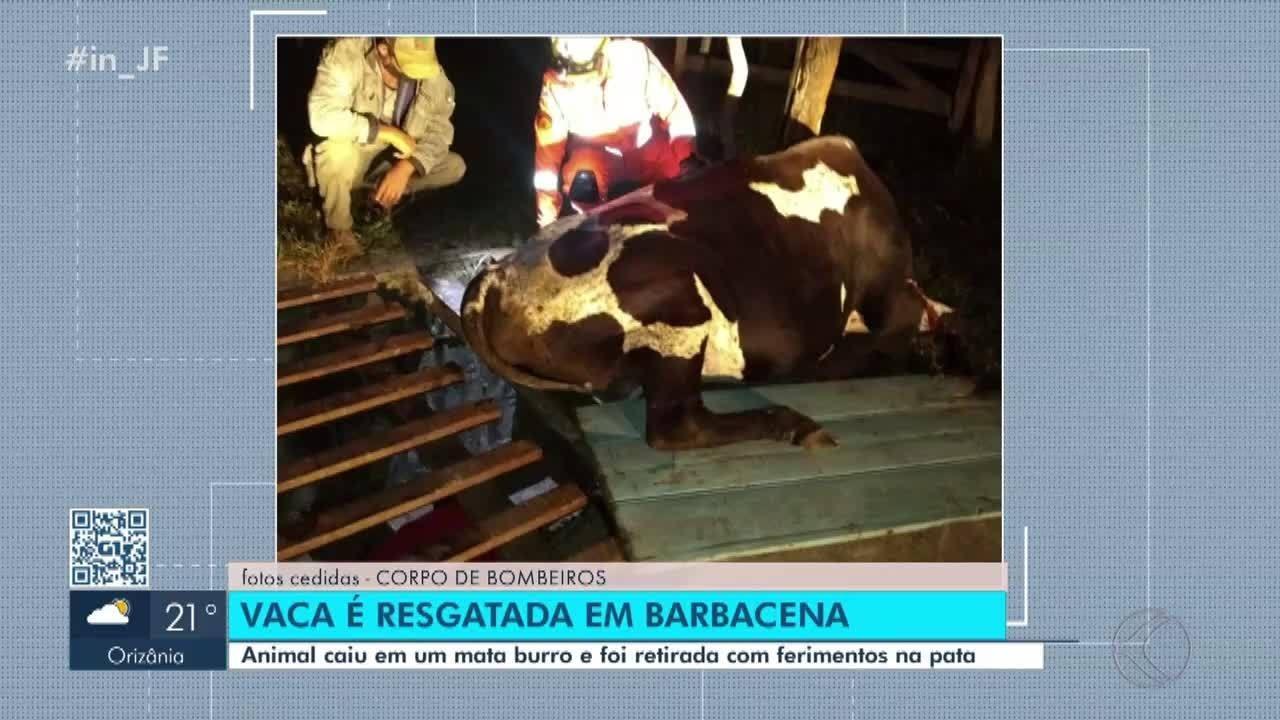 Bombeiros resgatam vaca em mata-burro em Barbacena