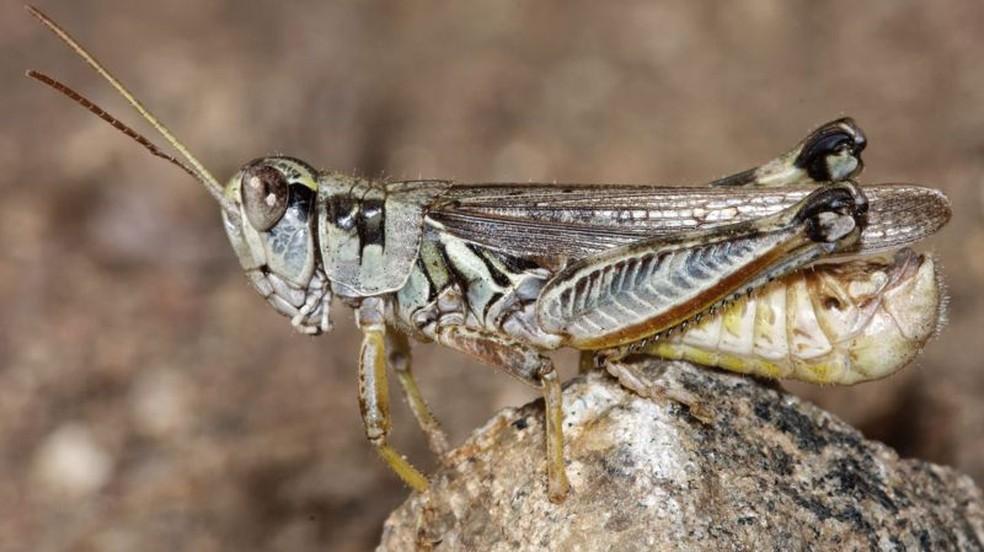 Gafanhotos são comuns na região Oeste dos EUA, mas, segundo cientistas, houve uma explosão na população desses insetos neste ano, agravada pela seca e ondas de calor históricas — Foto: USDA/APHIS
