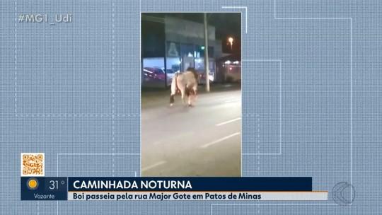 Boi é visto caminhando por rua em Patos de Minas