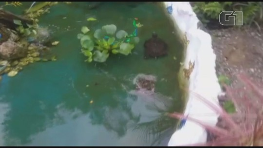 Tartarugas estão sendo cuidados em fonte de escola em Ilha Comprida, SP