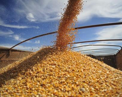 Safra recorde de milho não alivia oferta e indústria já reduz produção de carne no Brasil
