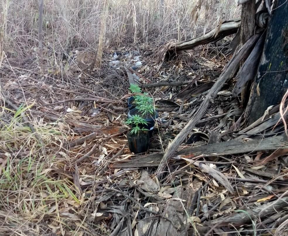 Pés de maconha encontrados na Floresta Nacional de Brasília (Foto: PMDF/divulgação)
