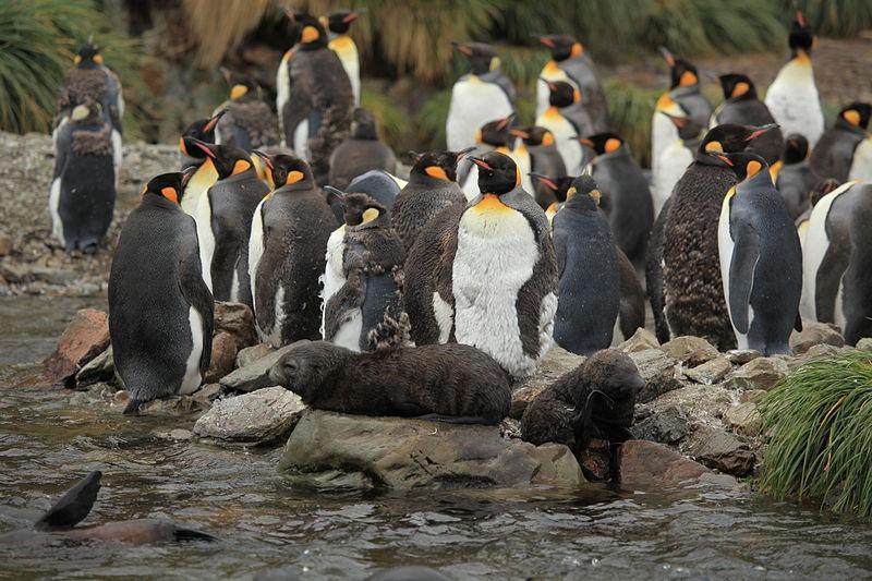 Pinguins e lobo-marinhos em Geórgia do Sul (Foto: Wikipedia Commons)